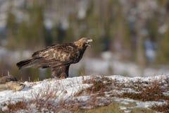 Het gouden roepen van Eagle Royalty-vrije Stock Afbeelding