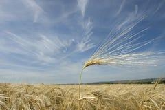 Het gouden tarwe groeien op een landbouwbedrijfgebied Royalty-vrije Stock Foto