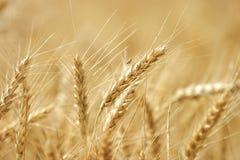 Het gouden tarwe groeien op een landbouwbedrijfgebied Stock Foto's