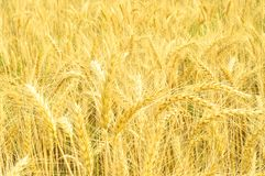 Het gouden tarwegebied en de hete de zomer zonnige dag stock afbeeldingen