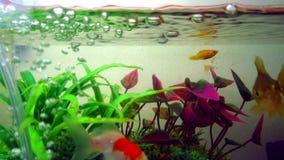 Het gouden vissen of goudvis het drijven zwemmen onderwater in verse aquariumtank met groene installatie Het mariene leven 4K stock videobeelden