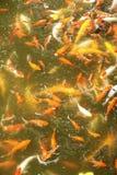 Het gouden vissen zwemmen Stock Fotografie