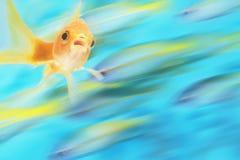 Het gouden Vissen Zwemmen Royalty-vrije Stock Afbeelding