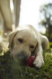 Het gouden volwassen spelen van Labrador met een Kong-stuk speelgoed Stock Foto