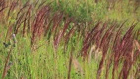 Het graan op de gebieden die in de wind slingeren stock videobeelden