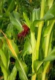 Het graan rijpt op het gebied royalty-vrije stock afbeeldingen