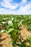 Het graan ringt dicht omhoog op gebied in Picardie Stock Afbeeldingen