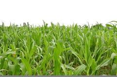 Het graan van het landbouwbedrijf Stock Foto's