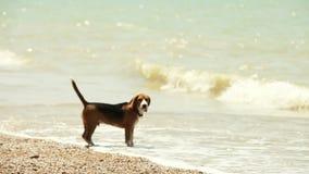 Het grappige brakpuppy wil zwemmen maar bange golven