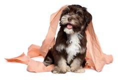 Het grappige donkere chocolade havanese puppy speelt met toiletpapier Stock Afbeeldingen