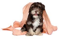 Het grappige donkere chocolade havanese puppy speelt met toiletpapier Stock Foto's