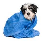 Het grappige havanese puppy na bad is behandeld met een blauwe handdoek Stock Fotografie