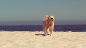 Het grappige hond spelen met bal stock video