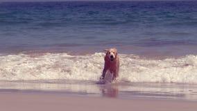 Het grappige hond spelen met bal stock footage