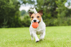 Het grappige huisdierenhond spelen met oranje stuk speelgoed bal Royalty-vrije Stock Afbeelding