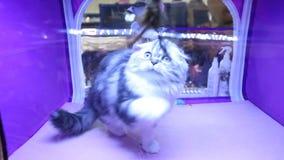 Het grappige het katje van Hooglandvouwen spelen met huisdierenstuk speelgoed, kattententoonstelling, duur ras stock videobeelden