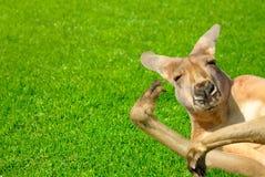 Het grappige menselijke kijken kangoeroe op een gazon Stock Foto's