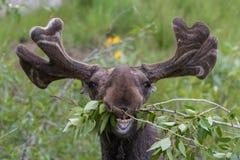 Het grappige onhandige Amerikaanse elanden eten Stock Foto