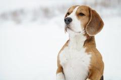Het grappige openlucht grappige portret van de brakhond in de winter Stock Afbeelding