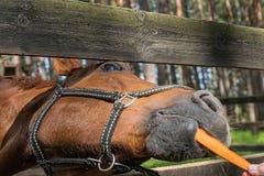 Het grappige paard eet wortel Royalty-vrije Stock Fotografie