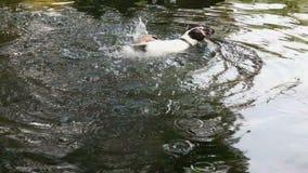 Het grappige pinguïn bespatten in het water stock video