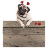 Het grappige pug puppyhond hangen met poten op leeg houten uitstekend promotieteken met rode die harten, op witte achtergrond wor Royalty-vrije Stock Afbeelding