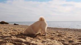 Het grappige puppy die van shibainu het grote gat op het strand graven terwijl het zoeken van de stuk speelgoed langzame motie stock video