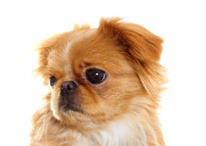 Het grappige puppy ziet eruit Royalty-vrije Stock Afbeelding