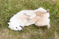 Het grappige witte hond liggen Royalty-vrije Stock Foto