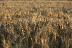 Het gras abstracte achtergrond van de gebieds gele bruine tarwe Stock Fotografie