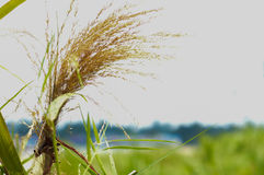 Het gras is achtergrondhemel Stock Afbeeldingen