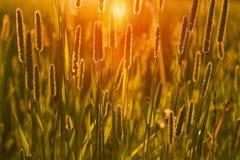 Het gras bij zonsondergang stock afbeeldingen