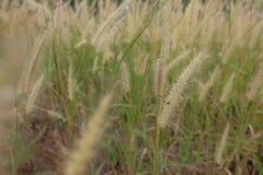 Het gras bloeit gebieds dichte omhooggaand Uitstekende achtergrond Royalty-vrije Stock Fotografie