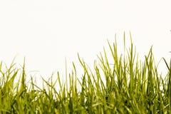 Het gras in de zon op een witte achtergrond Stock Foto's