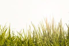 Het gras in de zon op een witte achtergrond Royalty-vrije Stock Afbeelding