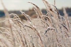 Het gras dichte omhooggaand van de vorst Stock Afbeelding