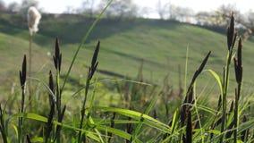 Het gras die van Nice bij de vroege lente dichtbij de rivier bloeien stock footage