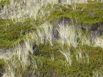 Het gras en Crowberry van het strand in de duinen van Sylt Royalty-vrije Stock Afbeelding
