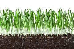 Het gras en de wortels van de haver Stock Foto