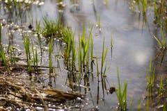 het gras groeit in het water Royalty-vrije Stock Afbeeldingen