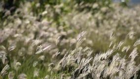 Het gras moet dichtbij verwelken en door de wind geblazen stock video