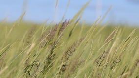 Het gras slingert in een sterke wind stock videobeelden