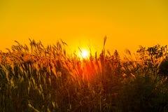 Het gras van de Backlightzonsondergang Stock Foto