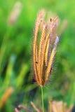 Het gras van de bloem Stock Afbeelding