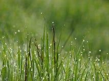 Het gras van de dauw Stock Afbeelding