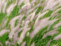 Het Gras van de fontein, setaceum Pennisetum in de wind Royalty-vrije Stock Foto