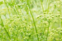 Het gras van de hebzucht in een dauw Sluit omhoog geschoten met selectieve nadruk royalty-vrije stock foto's