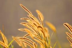 Het gras van de herfst De achtergrond van de aard, close-up Stock Afbeeldingen