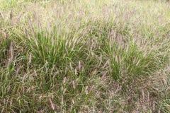 Het gras van de hondenstaart Stock Illustratie