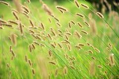 Het gras van de hondstaart Stock Foto's